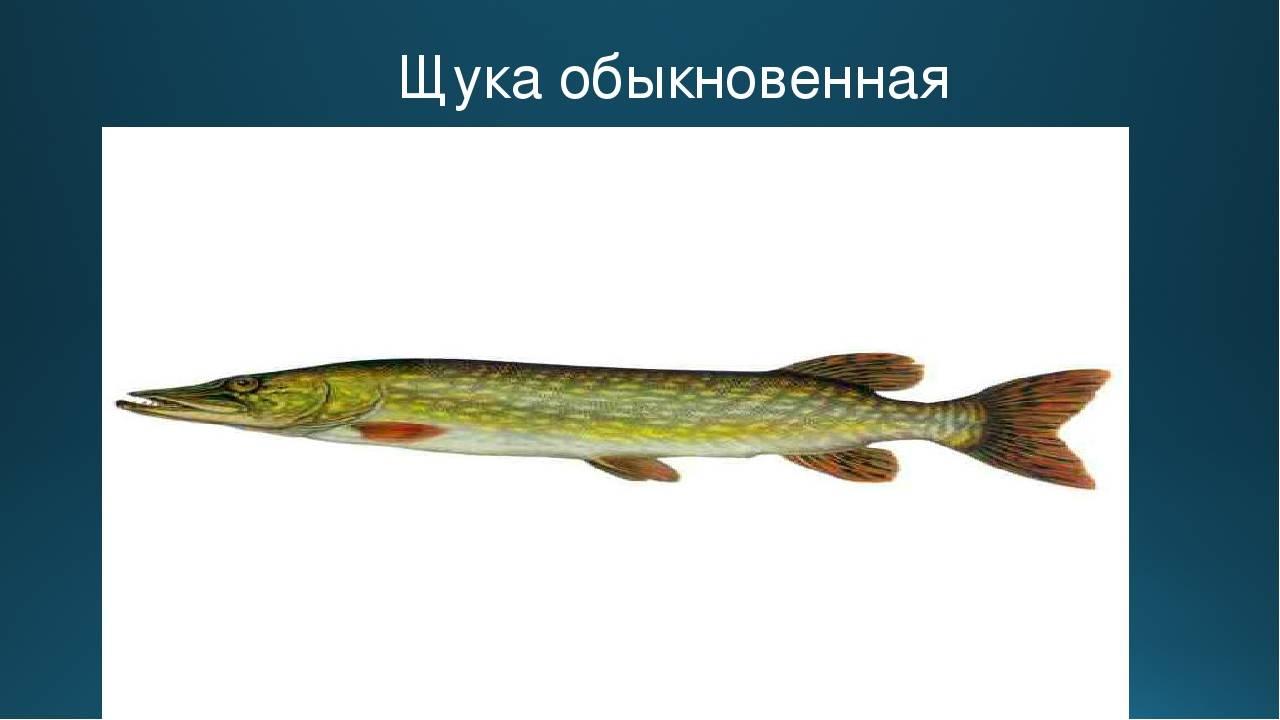 Щука: виды, ареал обитания, нерест, возможный размер и возраст
