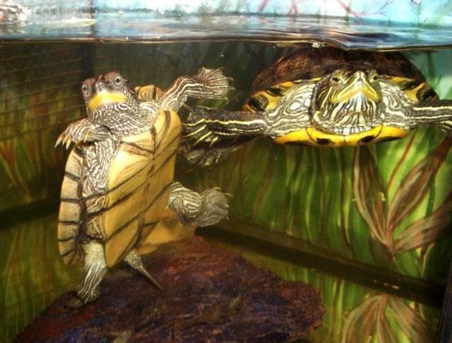 Как ухаживать за панцирем красноухих и сухопутных черепах