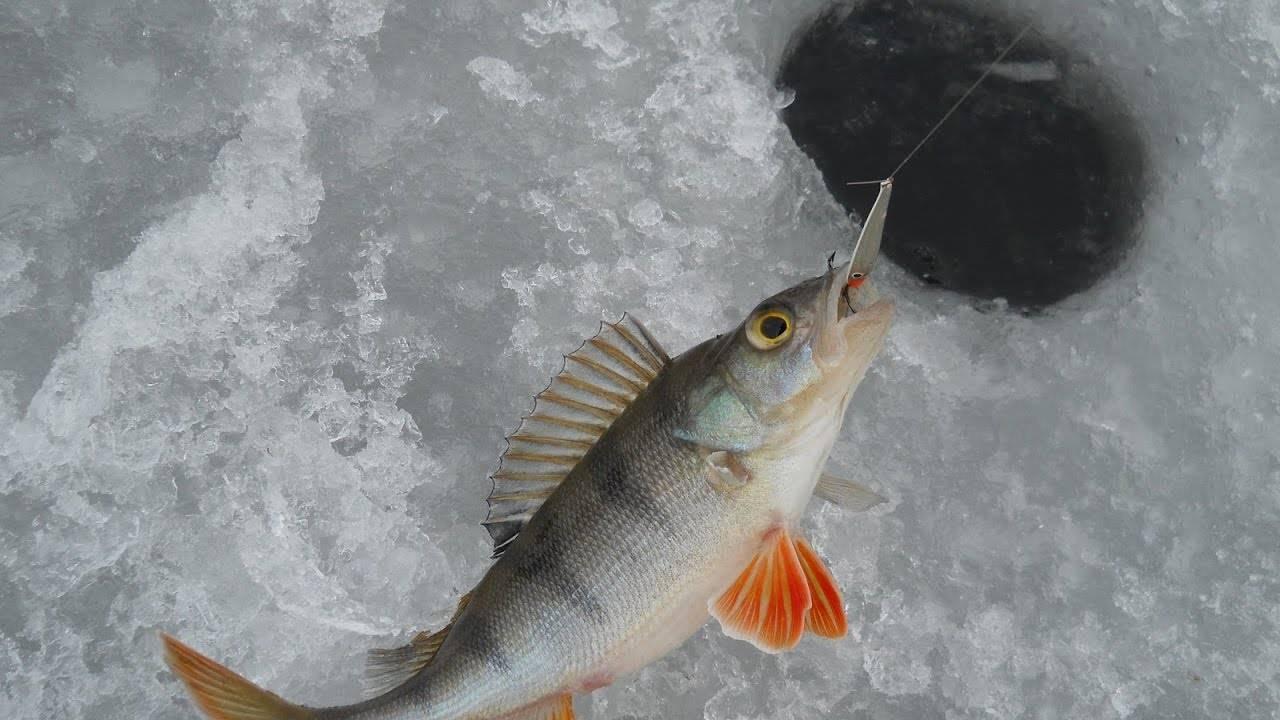 Ловля окуня по перволедью: секреты и тонкости рыбалки по первому льду