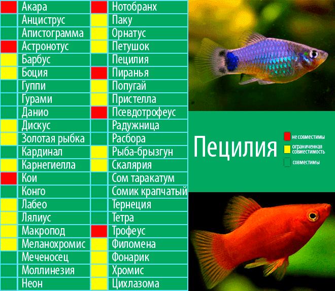 Акантофтальмус кюля: содержание и уход, совместимость с другими рыбками