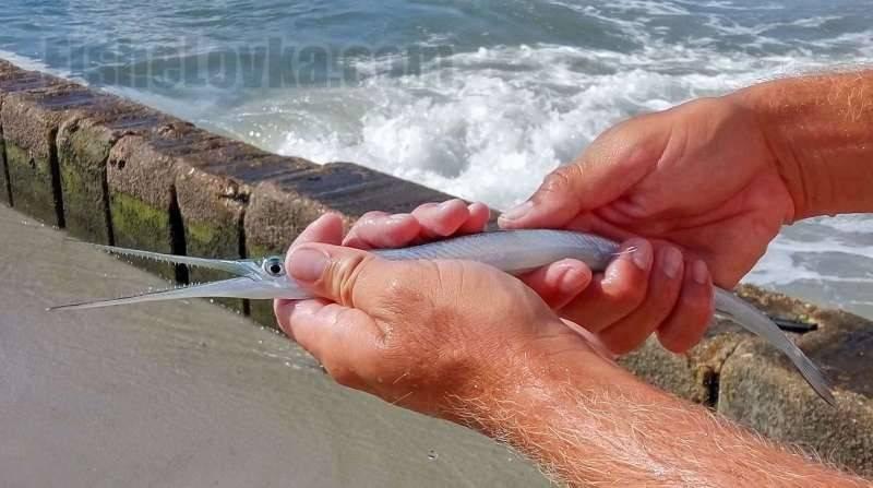Сарган – интересные факты о рыбе обитающей во многих морях, в том числе у черноморского побережья