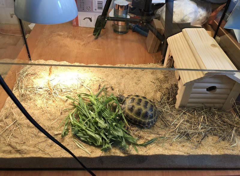 Черепаха сухопутная: содержание сухопутной черепахи в домашних условиях