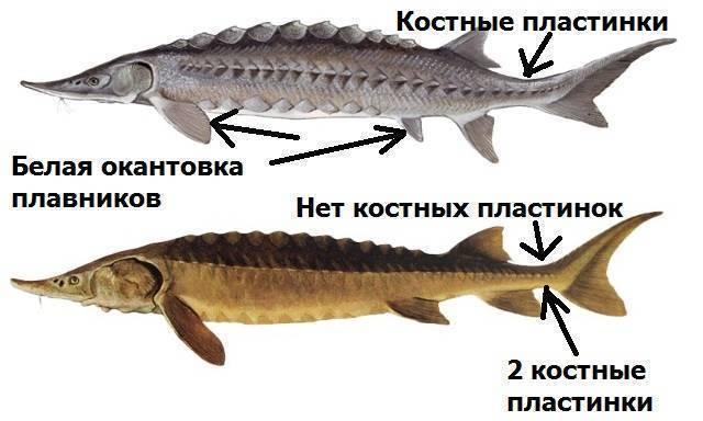 Как отличить осетра от стерляди - premium-fishing.ru