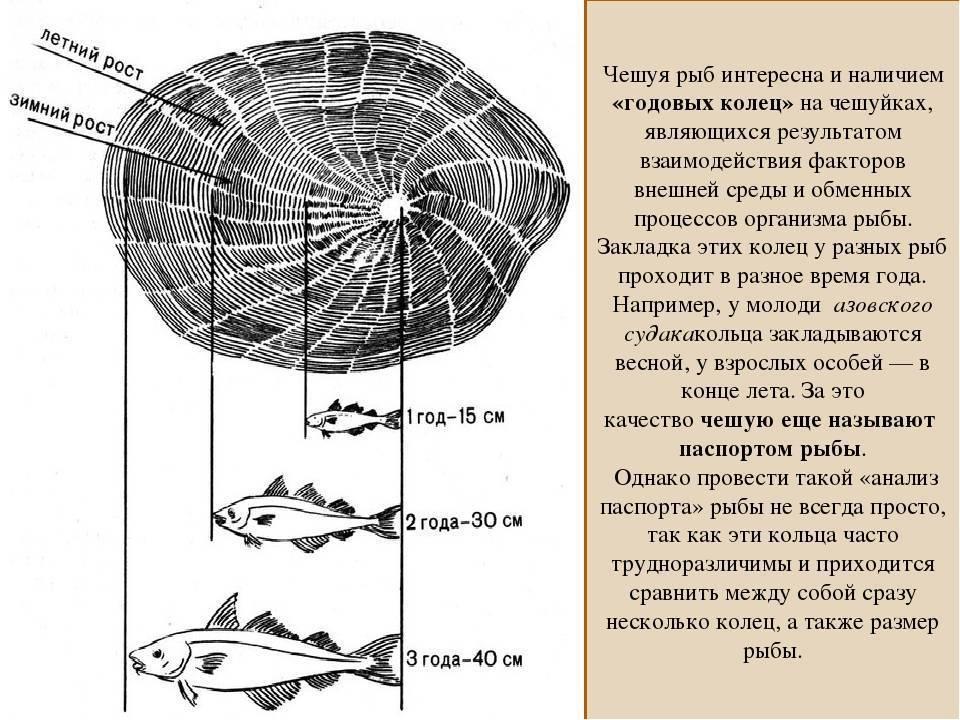 Как определить возраст щуки, хариуса, сельди, окуня, осетра