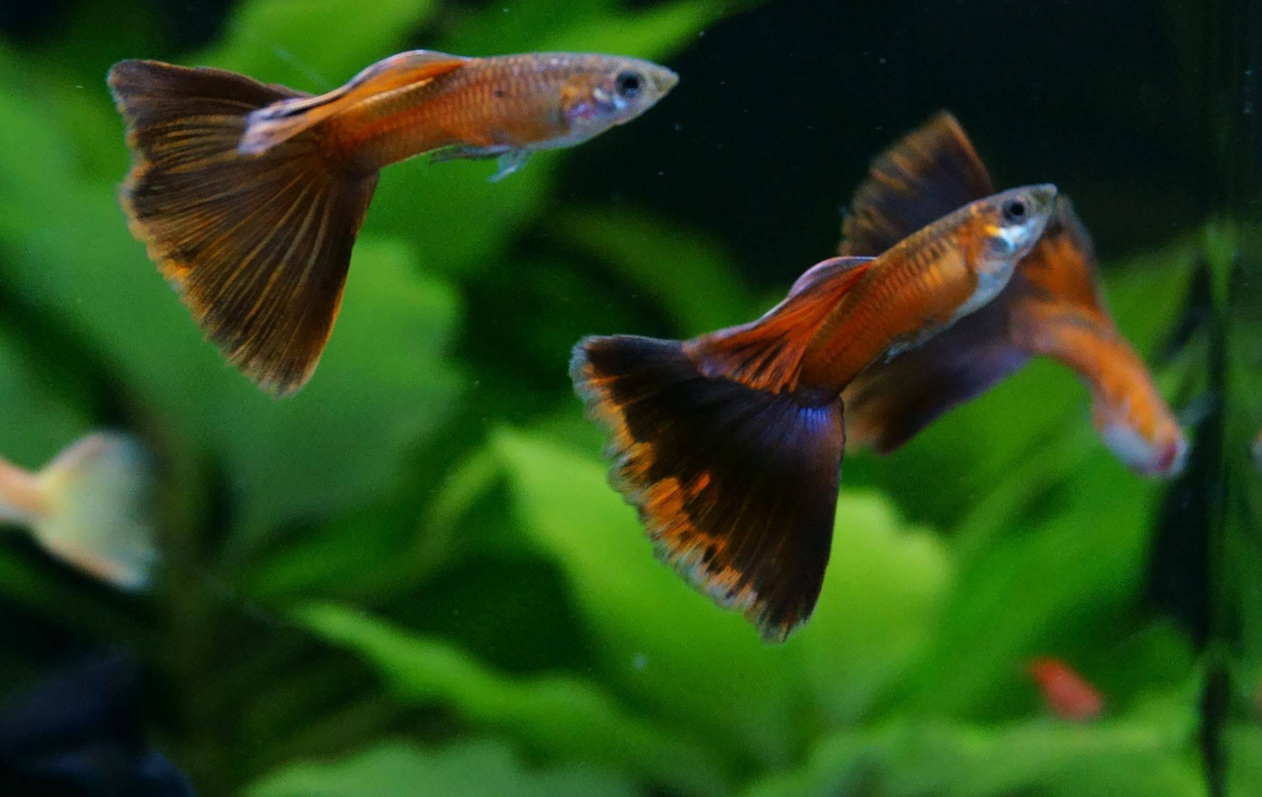 Гуппи рыбка: фото, содержание и уход, совместимость, разведение
