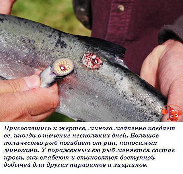 Рыба таранка: где водится, чем питается, ловля и вкусовые качества
