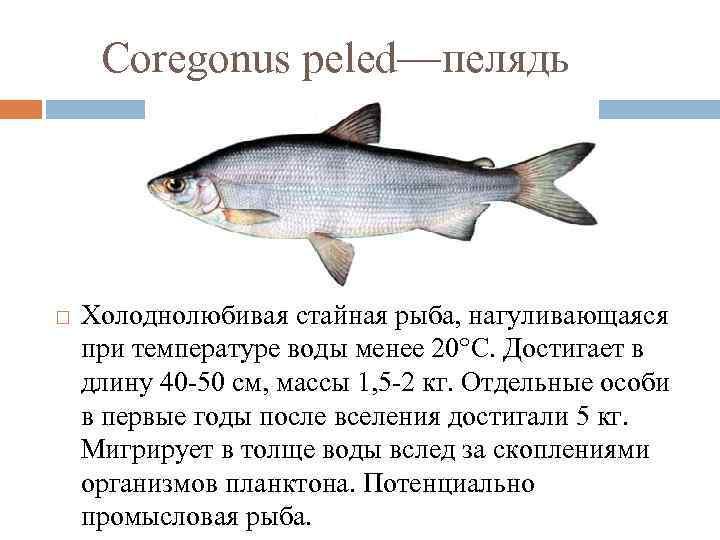 Рыба сиг костлявая или нет