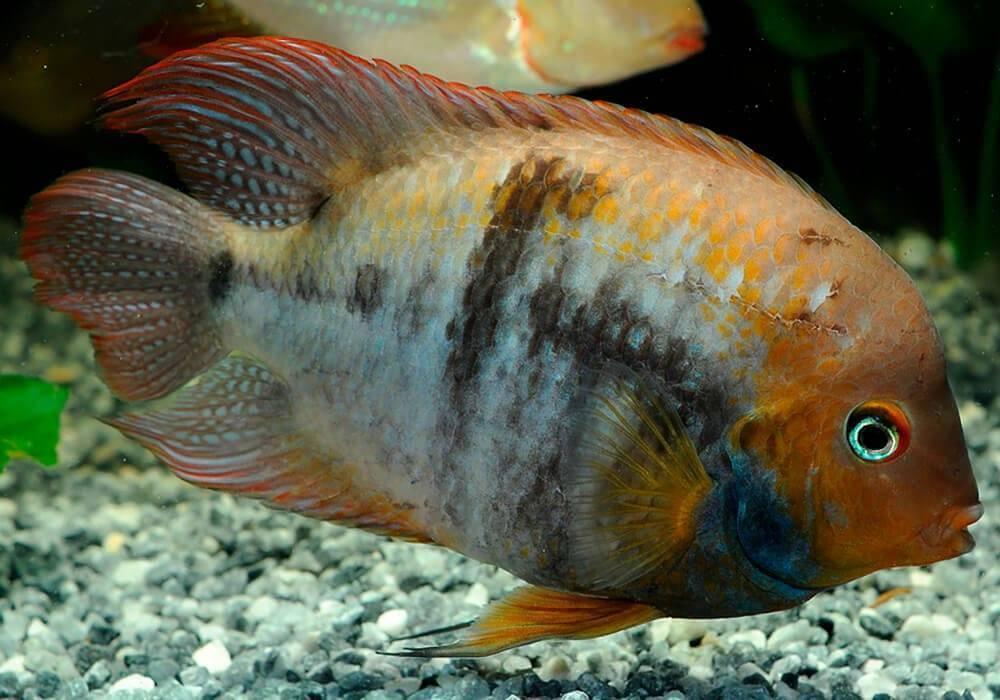 Цихлазома седжика: фото рыбок, содержание, разведение, совместимость, видео цихлазома седжика: фото рыбок, содержание, разведение, совместимость, видео