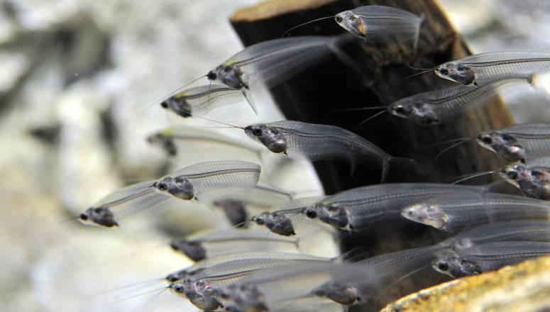 Прозрачный стеклянный сомик в аквариуме