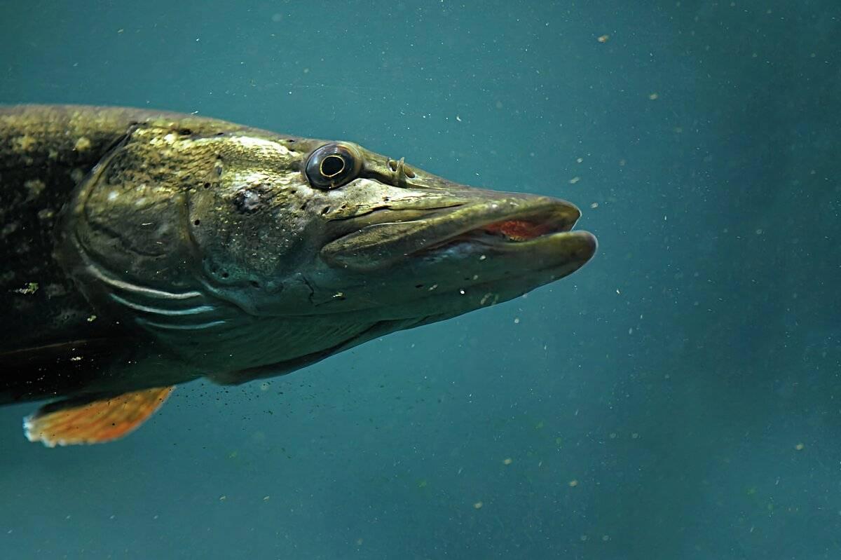 Щука - интересные факты о рыбе, популярность щуки в народе.