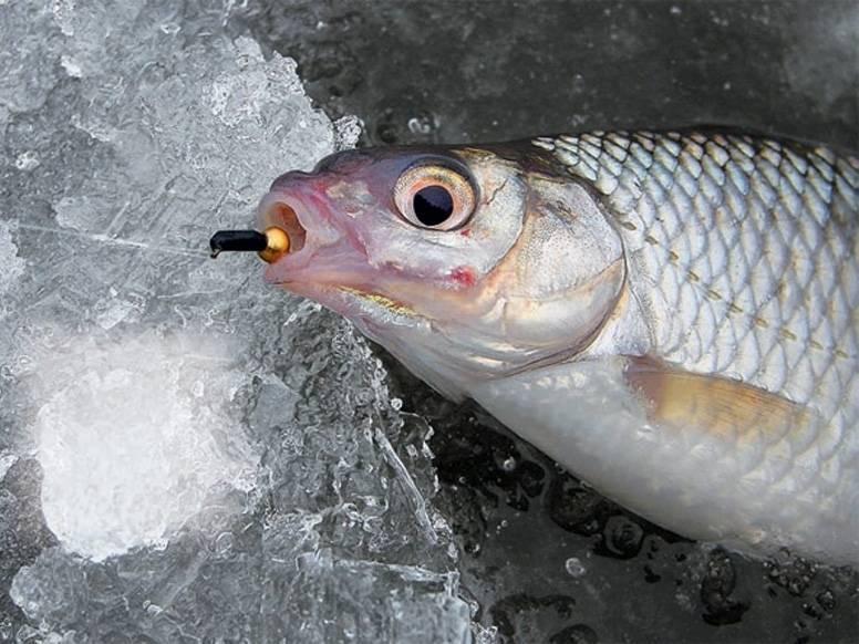 Ловля плотвы: фото, видео, правила и секреты рыбалки на плотву