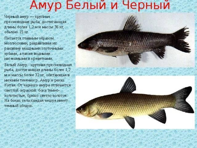 Амур белый: как выглядит представитель семейства карповых, чем питается, среда обитания рыбы