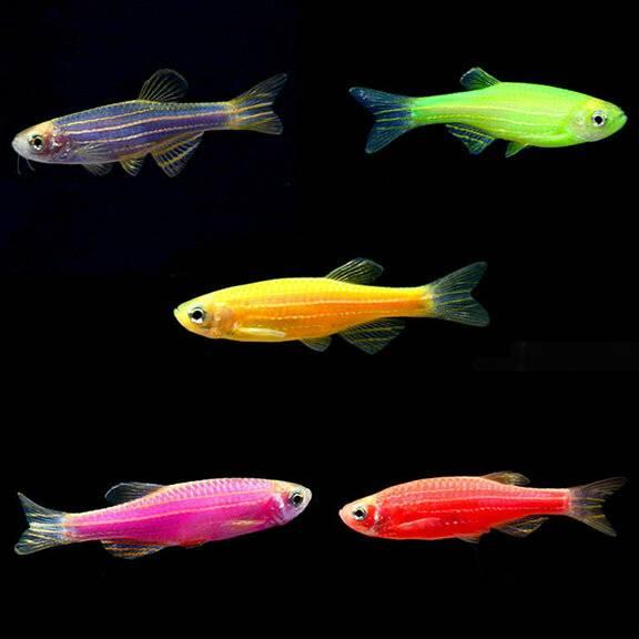 Неоны рыбки: содержание, уход, чем кормить, сколько живут, виды, совместимость в домашних условиях, болезни