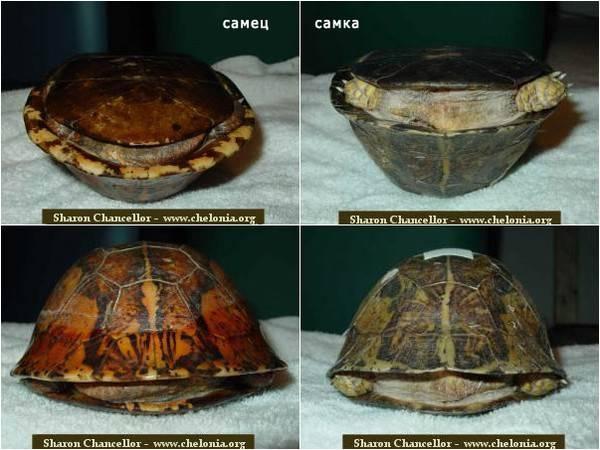 Как определить пол красноухой черепахи маленькой или большой