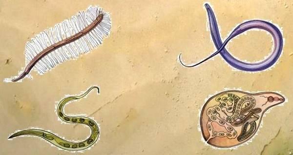 Черви в рыбе: фото и описание, как выглядят и какие бывают плоские гельминты