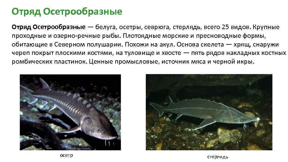 Про царицу амурских вод – рыбу калугу