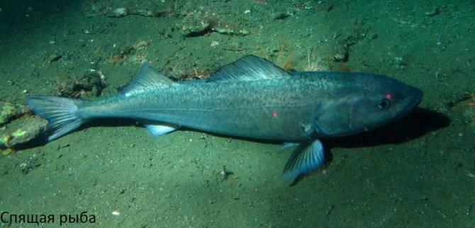 Рыбы спят днем. как спят рыбы в аквариуме и водоёмах, ночью и днём. влияние на совместимость разных видов