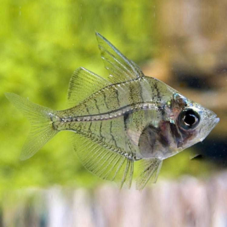 Cтеклянный окунь цветной: аквариумная рыбка
