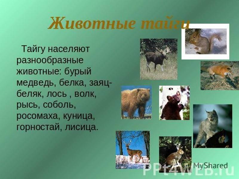 Животные тайги в россии – кто водится из фауны