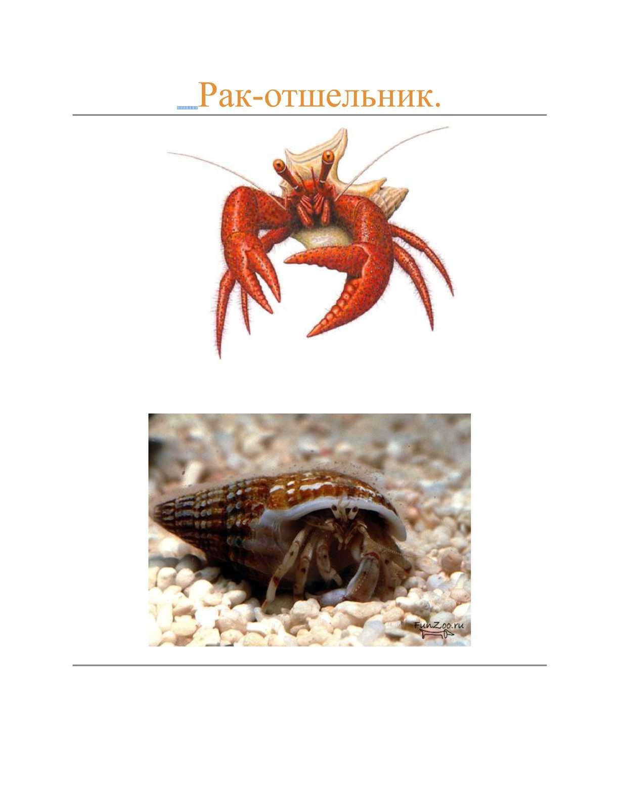 Крупный морской рак: фотографии, интересные факты и описание. морской рак-отшельник
