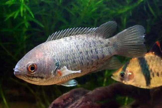 Анабас или рыба-ползун - фото, содержание и уход в аквариуме
