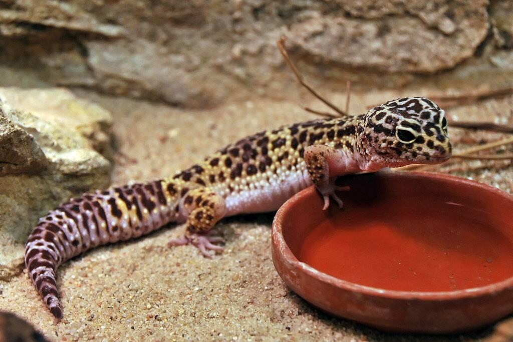 Эублефар: фото ящерицы, содержание и уход, виды (леопардовый и др.)