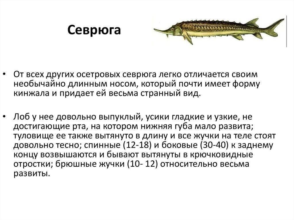 Как отличить стерлядь от осетра — ловись рыбка