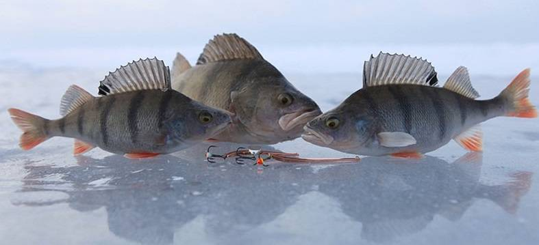 Ловля окуня по первому льду