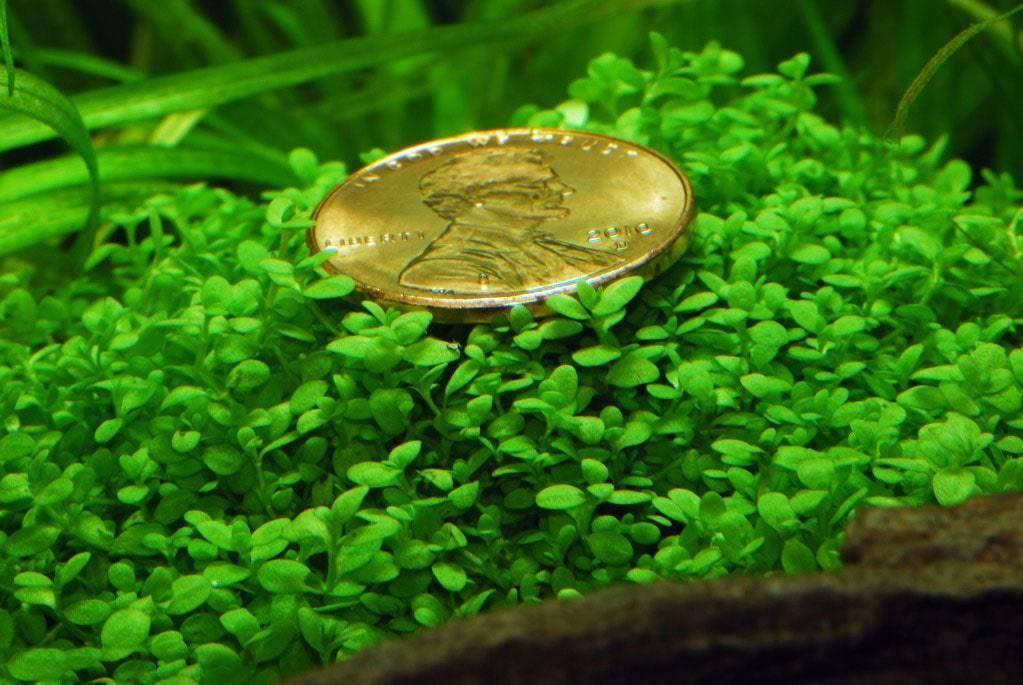 Условия содержания, посадка и совместимость аквариумного растения с рыбками