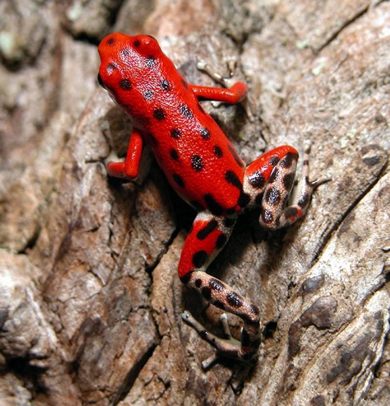 Рейтинг самых маленьких лягушек в мире:милые, опасные и ядовитые