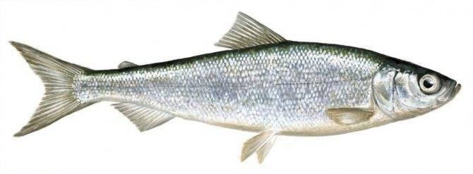 Рябушка что за рыба. рыба ряпушка: беломорская и другие подвиды
