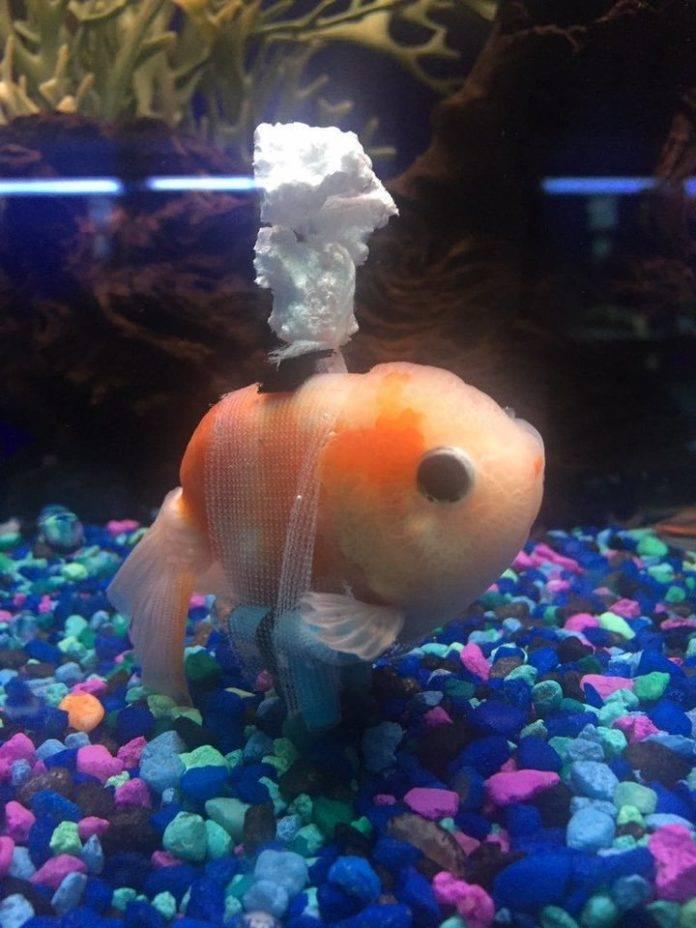 Что делать, если золотая рыбка плавает вверх брюхом?