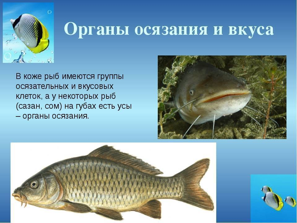 Нем, как рыба: действительноли рыбы молчат?