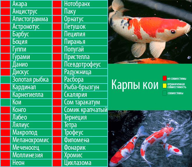 Акантофтальмус кюля (pangio kuhlii): содержание, уход, совместимость, размножение рыбки