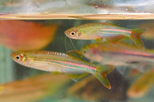 Как размножаются рыбки данио в аквариуме в домашних условиях