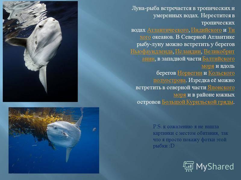 Обыкновенная луна-рыба