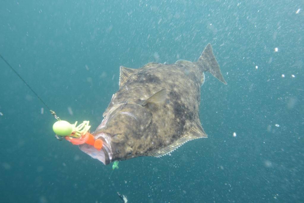 Рыба палтус: общая характеристика