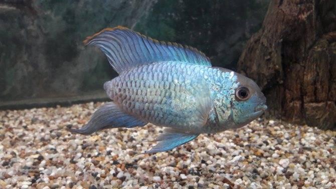 Анабас или рыба-ползун (лат. anabas testudineus) | аквариумные рыбки