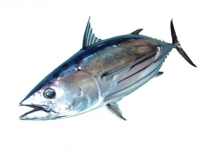 Ценная рыба тунец: ее польза и вред для человека, нормы употребления, кулинарные рецепты блюд