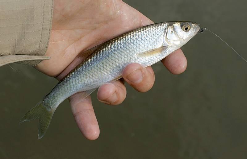 Подкаменщик сибирский | фото, виды рыб, ареал обитания, образ жизни и способ ловли