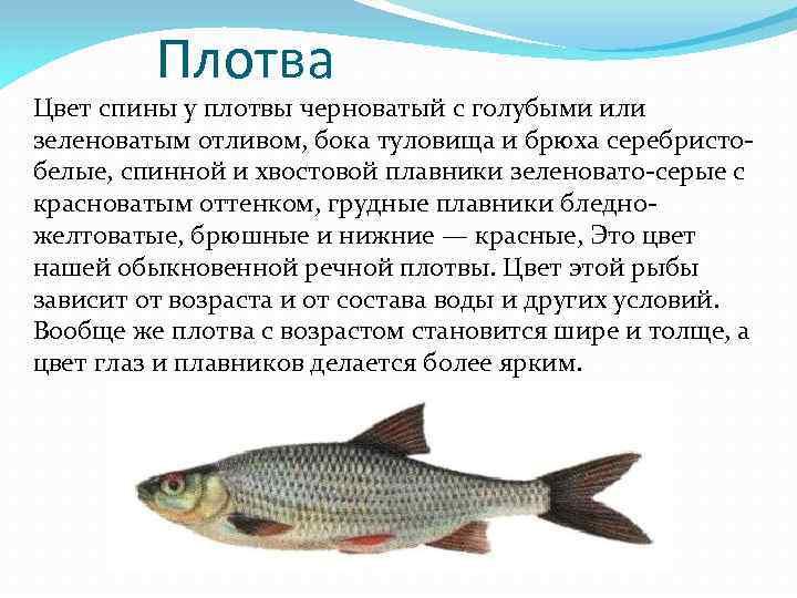 Рыба плотва- все о плотве. как и когда ловить. советы рыбаков