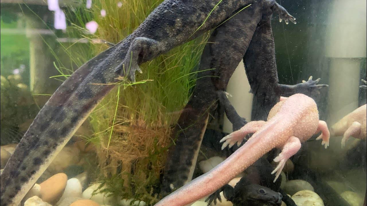 Тритон аквариумный (18 фото): содержание в аквариуме с рыбками. испанские тритоны и другие виды. сколько они живут? чем их кормить?