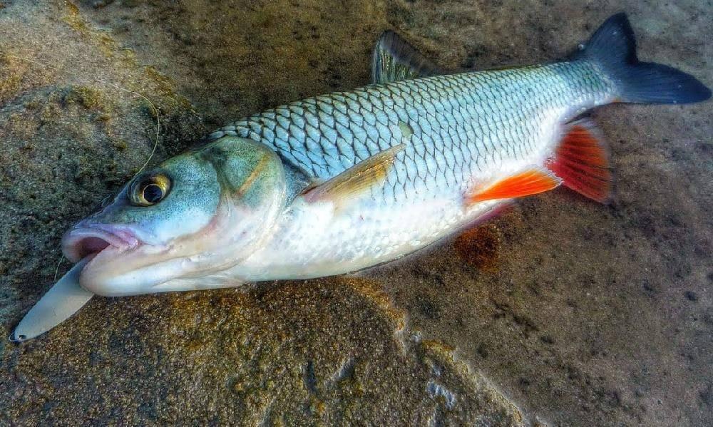 Ловля подуста: советы по технике и тактике рыбалки