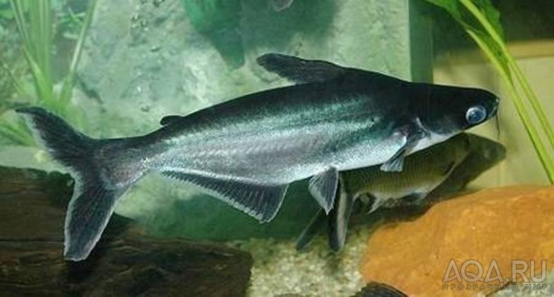 Что за рыба пангасиус: внешность акулы и кроткий нрав