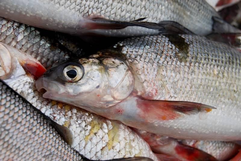 Ротан рыба. описание, особенности и среда обитания рыбы ротан | животный мир