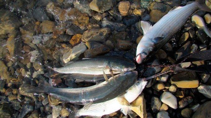 Рыба муксун — полезные свойства и вред