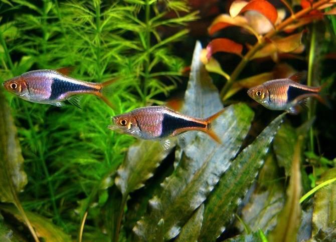 Расбора клинопятнистая (гетероморфа, клиновидная): содержание, уход, размножение аквариумной рыбки, разведение, фото