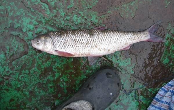 ✅ рыба вырезуб: фото и описание, где водится, рыбалка на вырезуба - fishyarm.ru