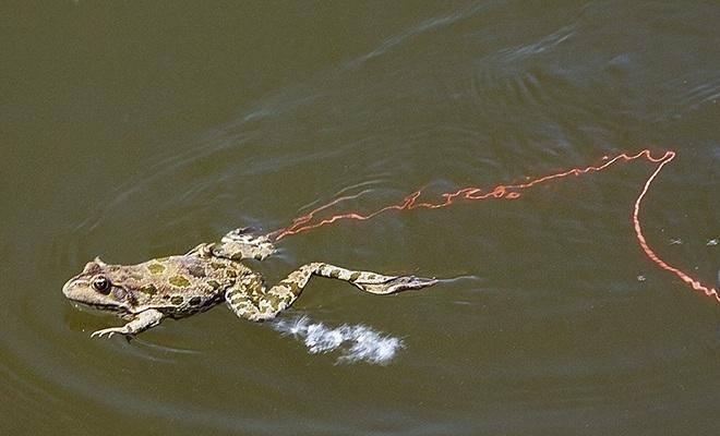 Техника ловли сома на лягушку и выбор снастей и наживки