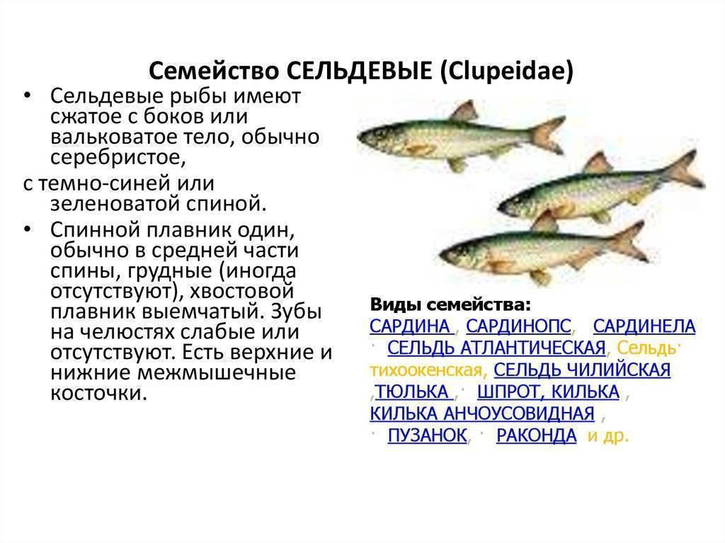 Как выглядит и где водится рыба корюшка в россии